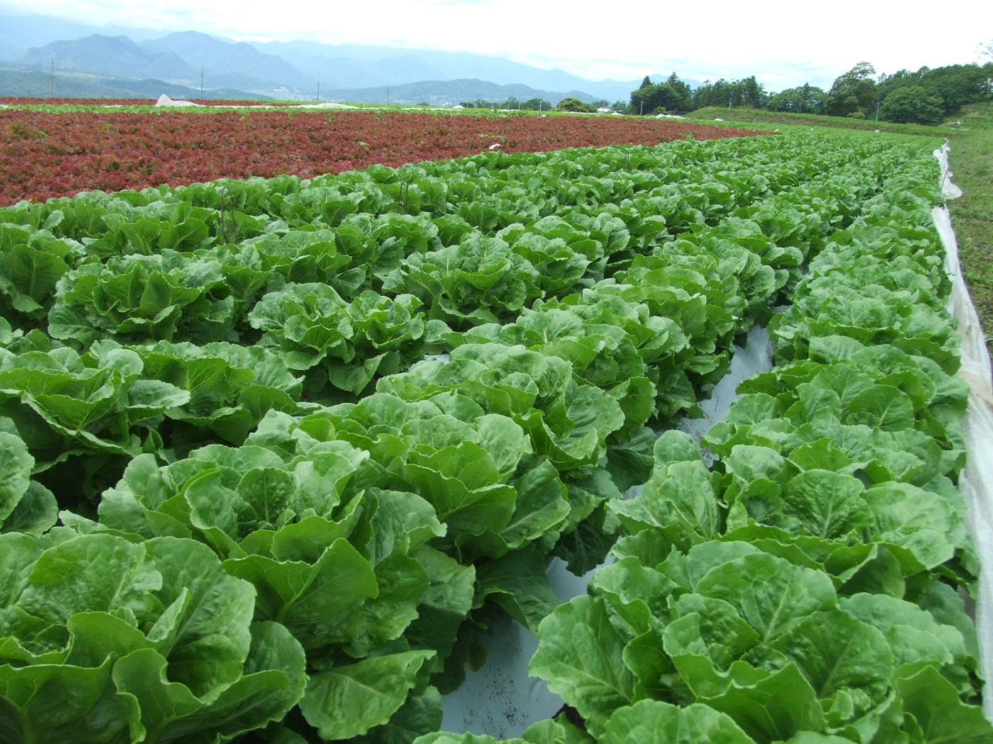 長野県東御市のワタミファーム東御農場で栽培されるロメインレタス